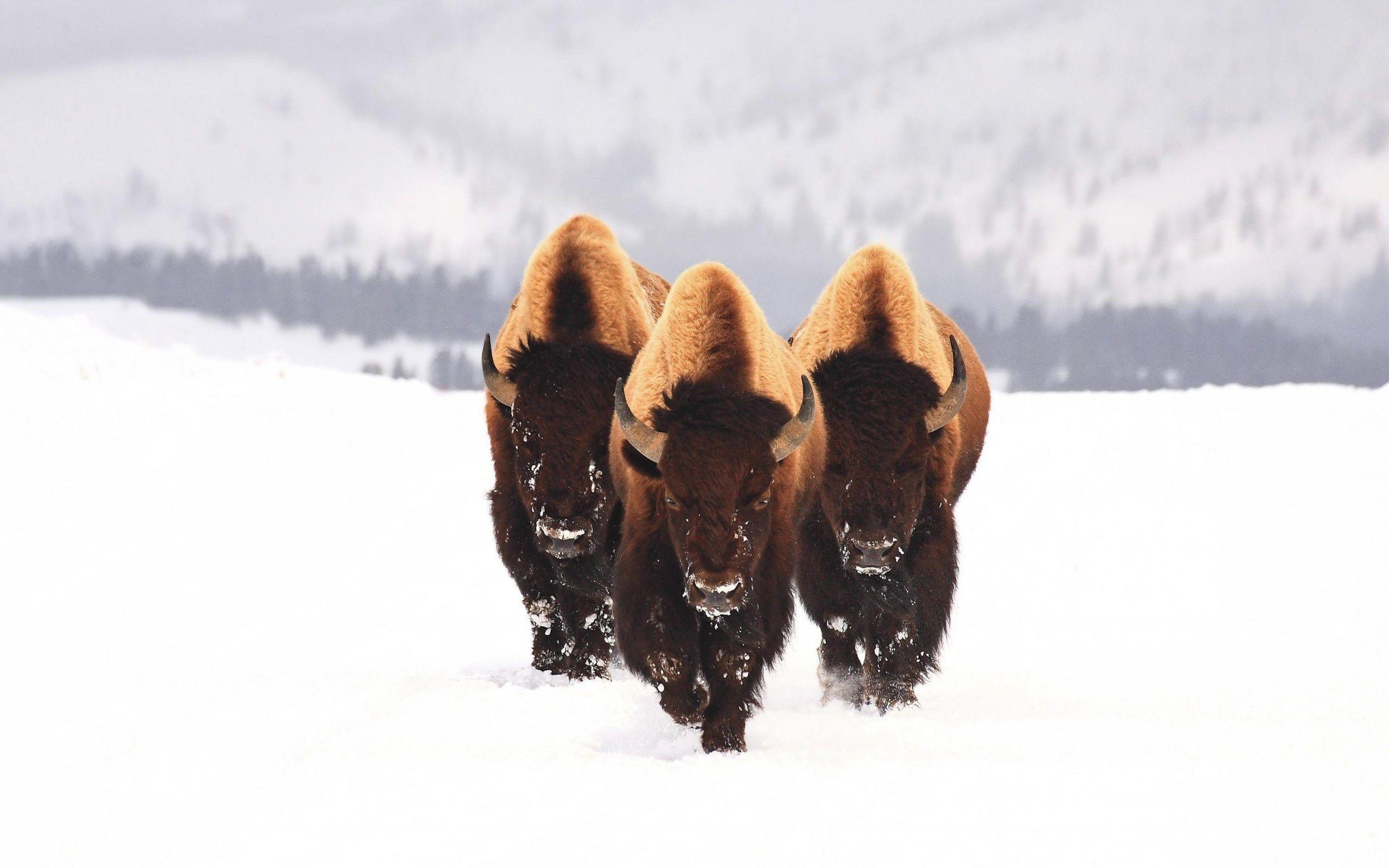 Bison Wallpapers