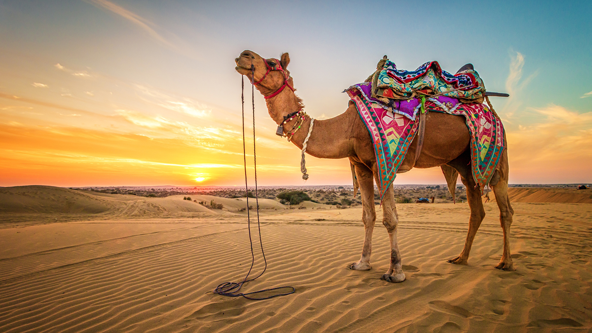 Camel Wallpapers
