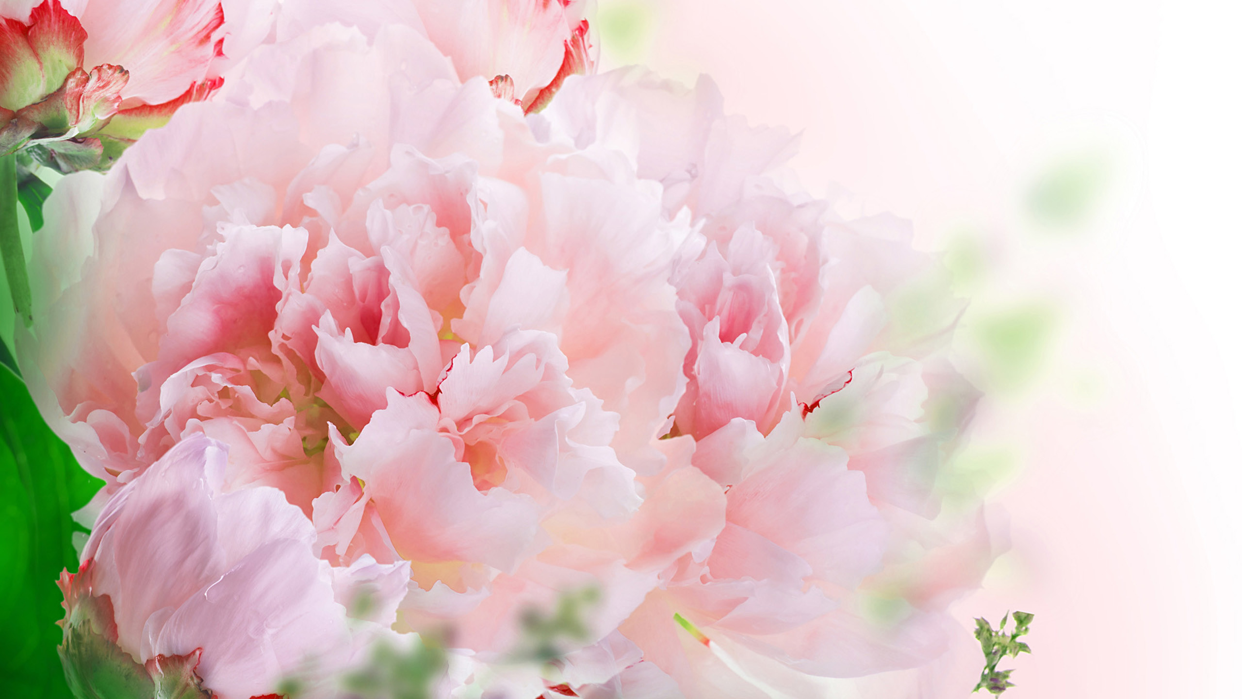 Carnation Wallpapers Wallpapers All Superior Carnation Wallpapers Backgrounds Wallpapersplanet Net