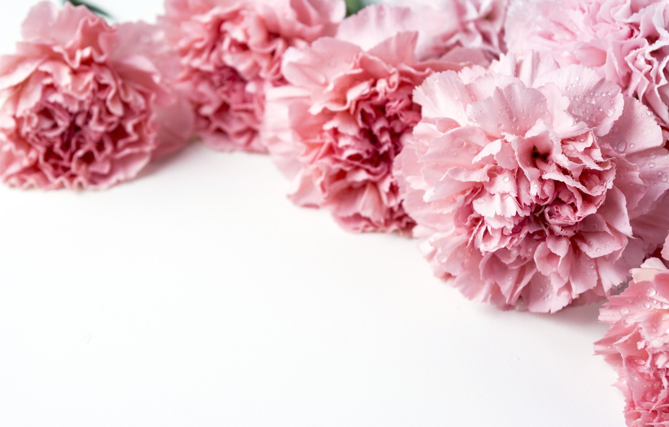 Carnation Wallpapers