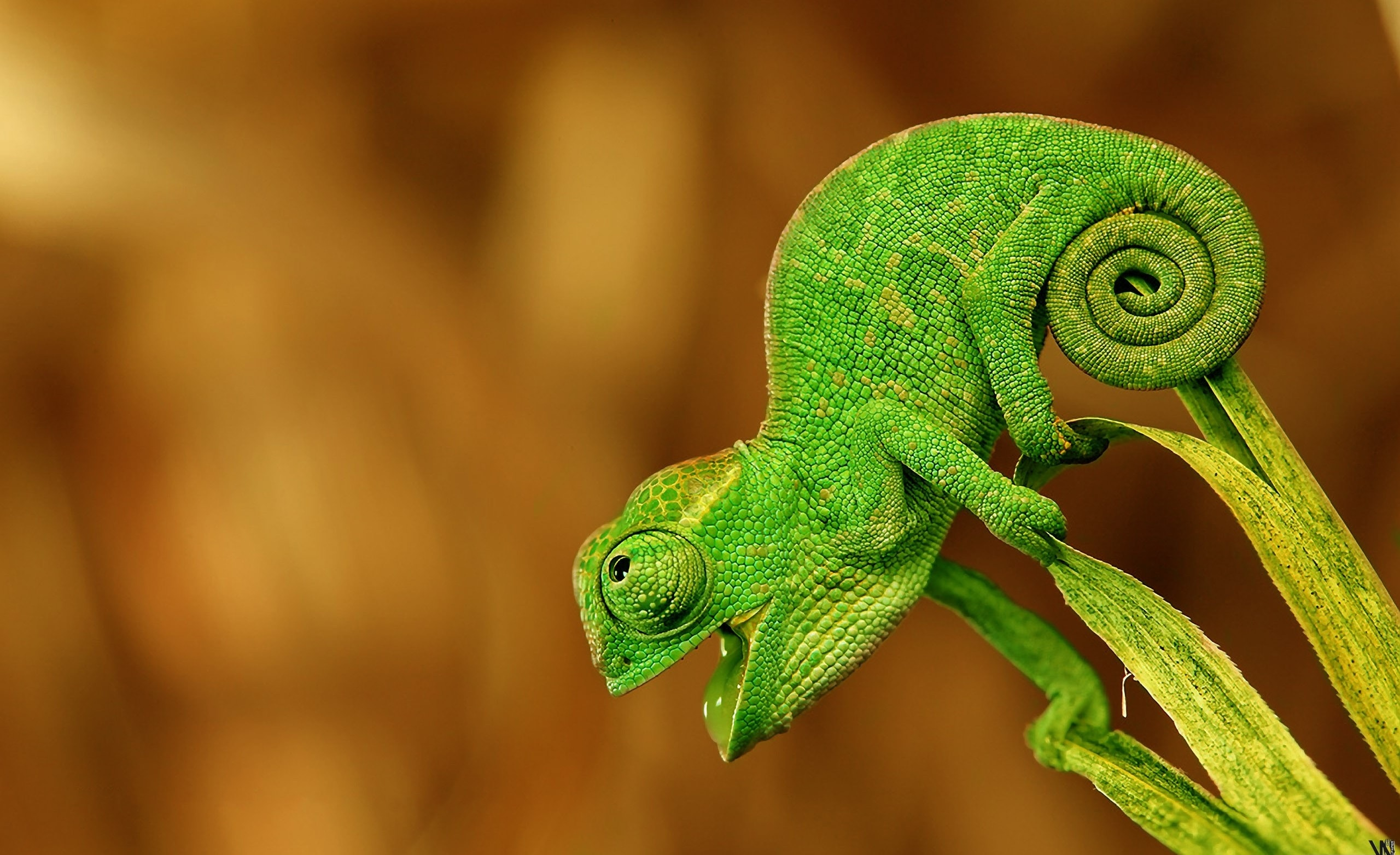 Chameleon Wallpapers