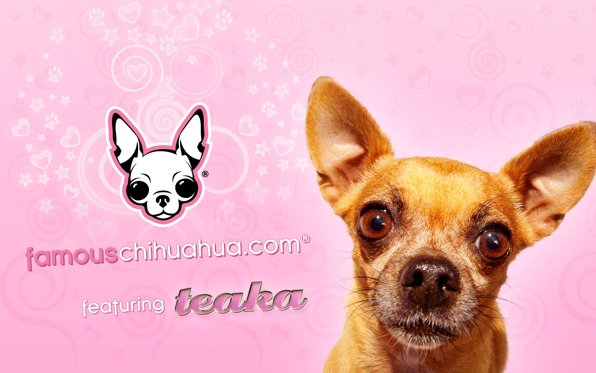 Chihuahua Wallpapers