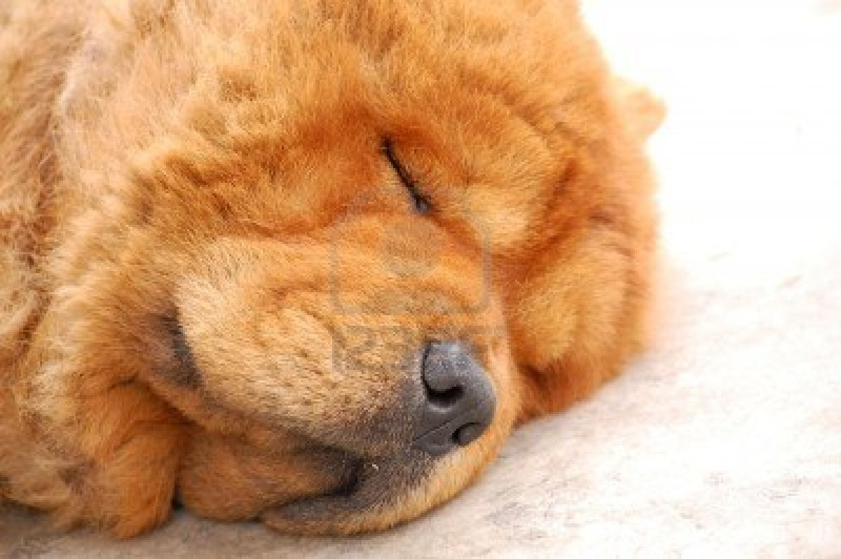 Chow Chow Wallpapers