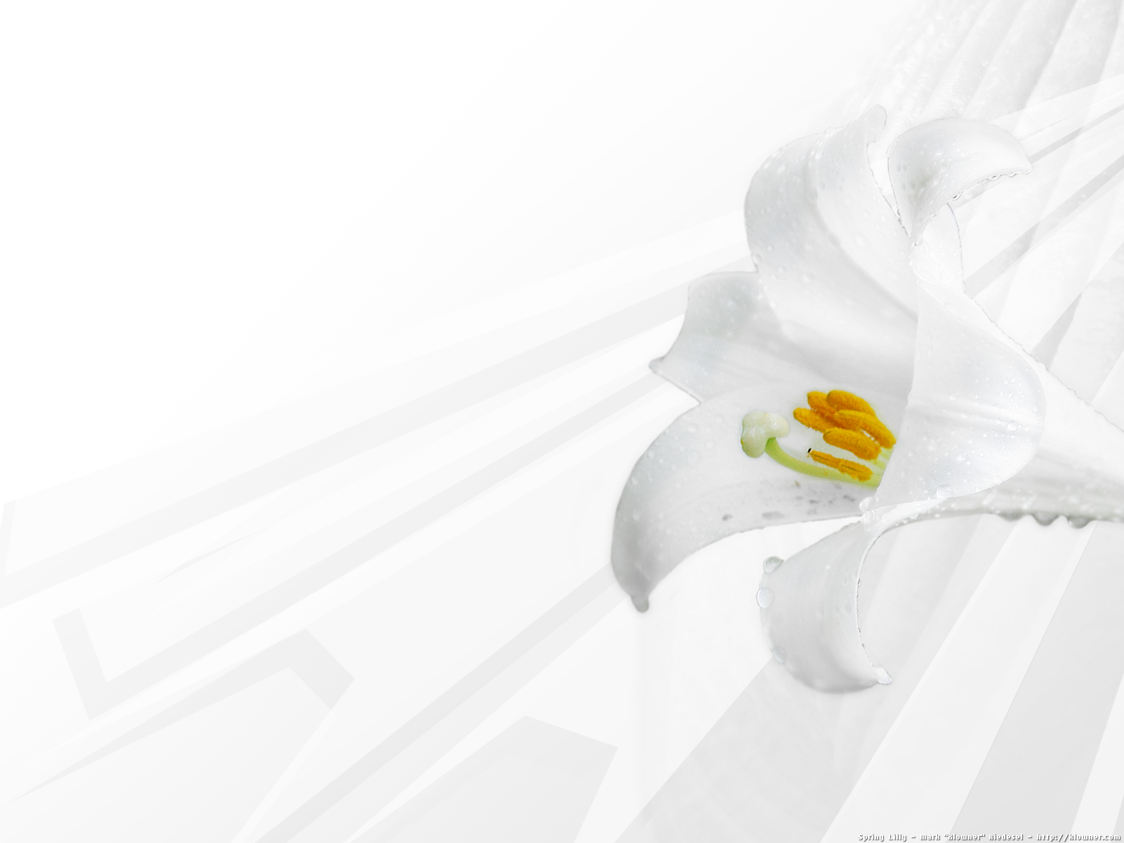 Lily Wallpapers