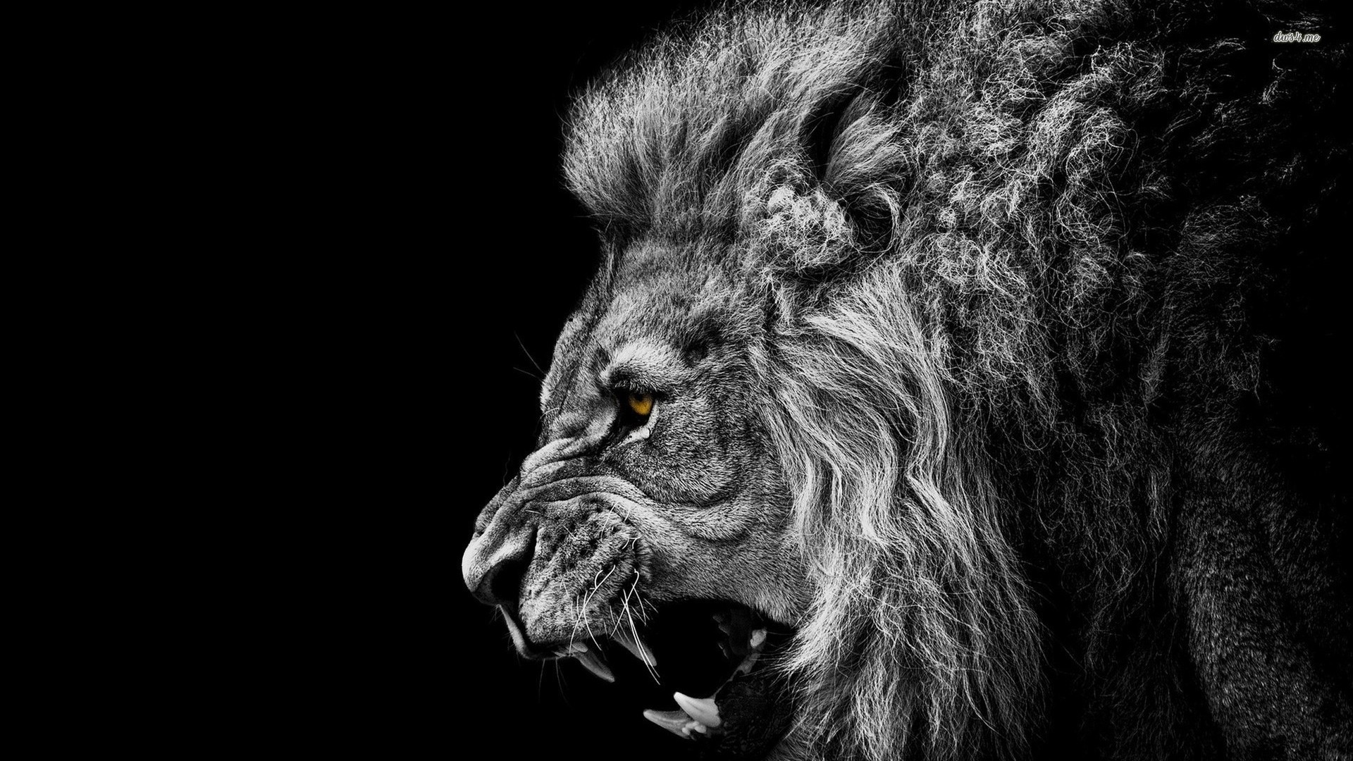 Lion Wallpapers