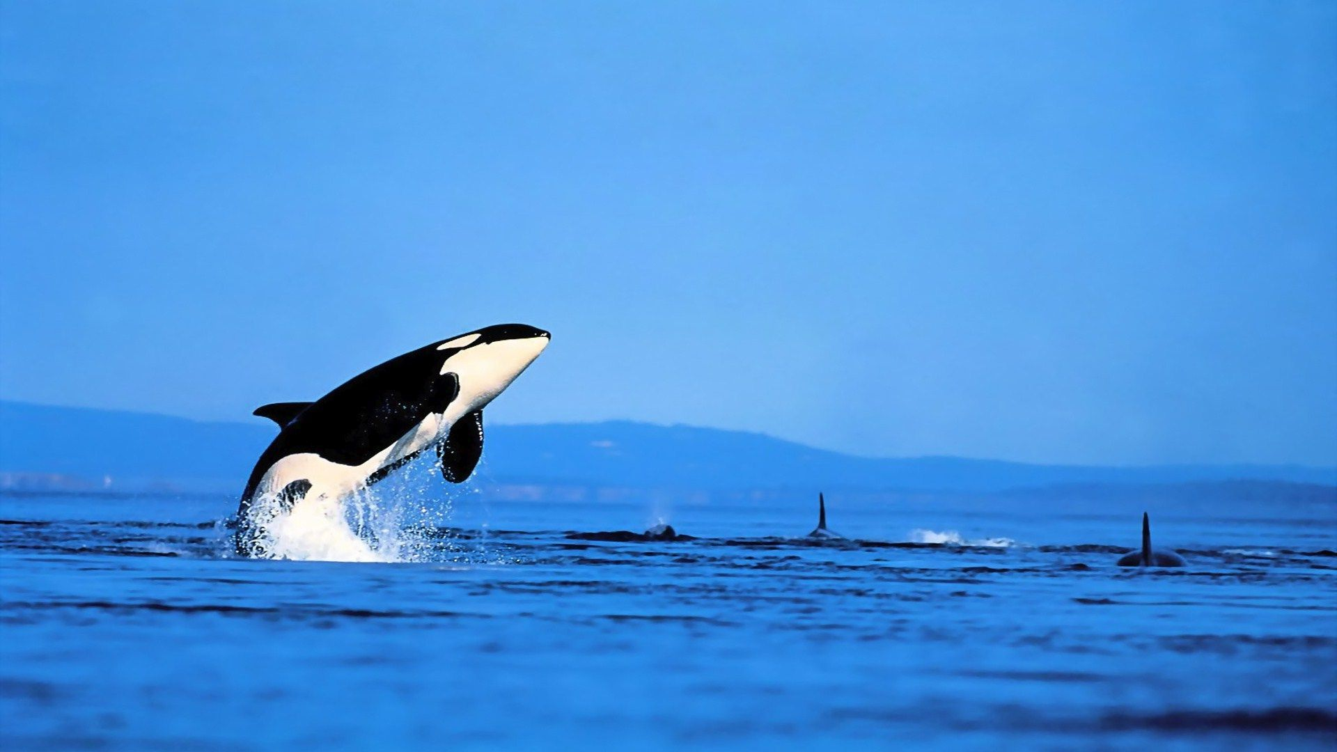 Orca Wallpapers