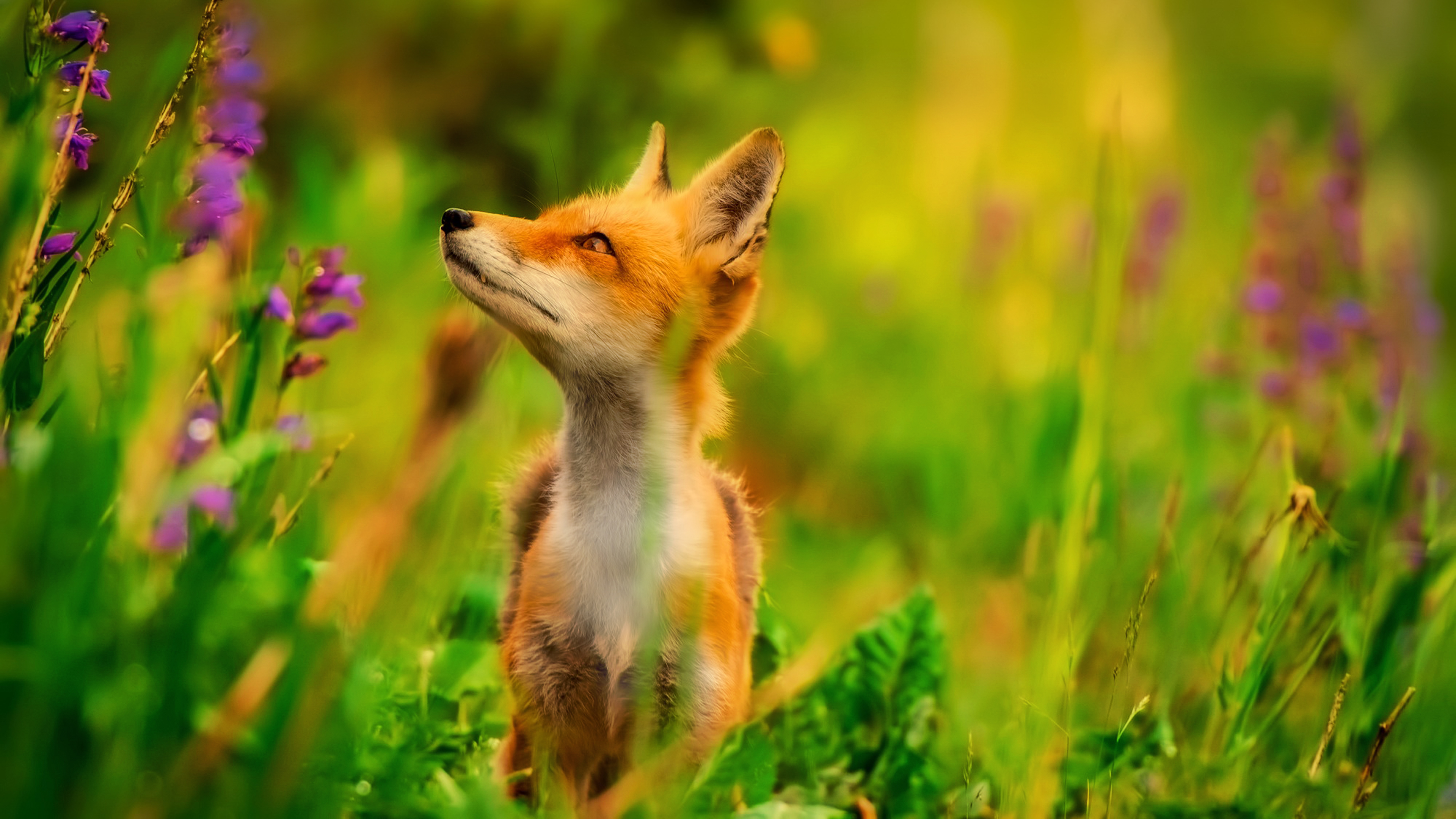 Red Fox Wallpapers
