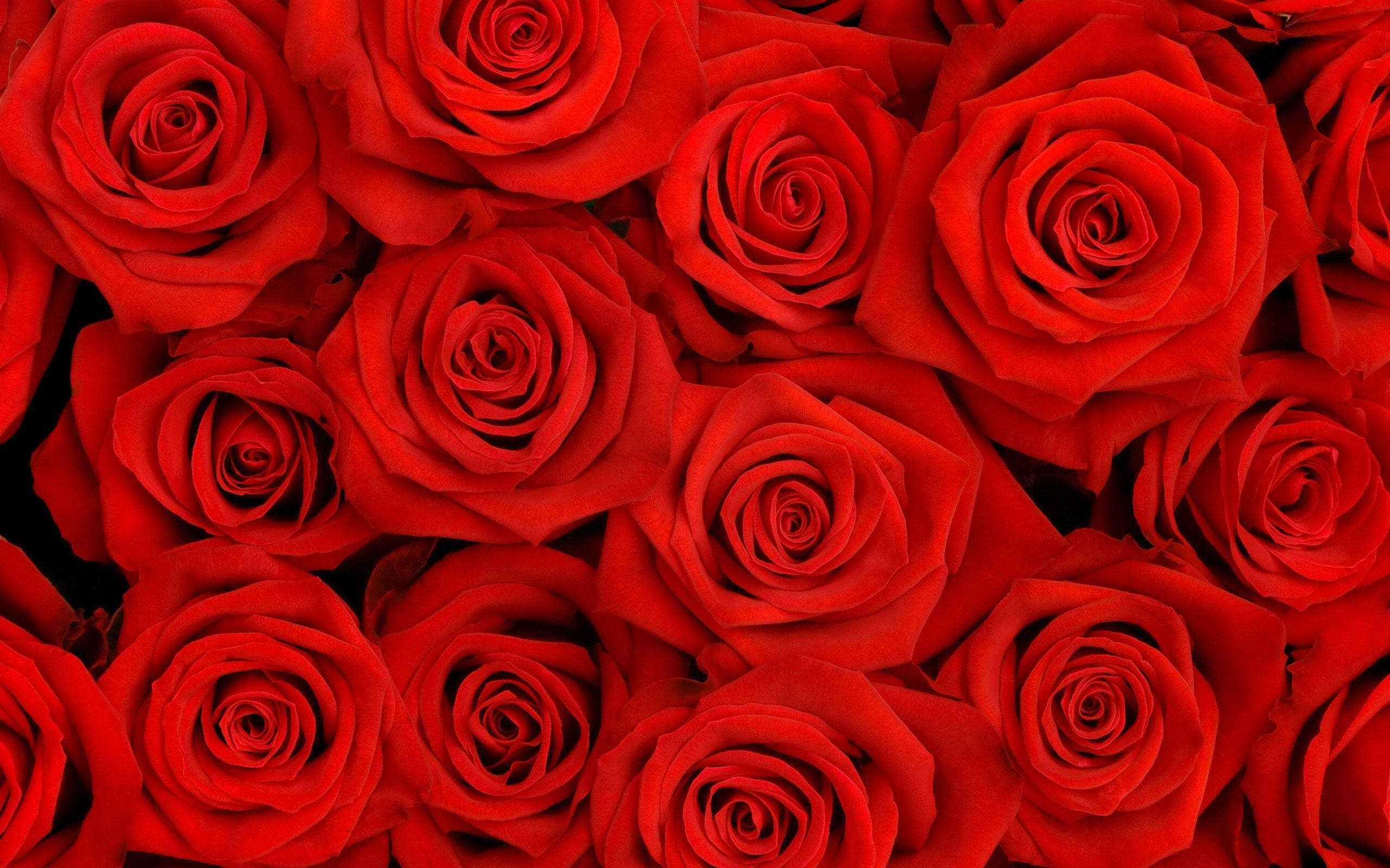 Roses Wallpapers