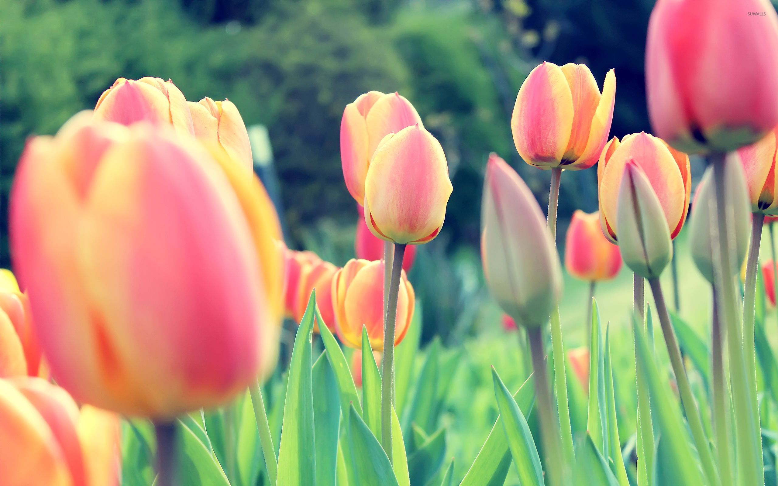 Tulip Wallpapers