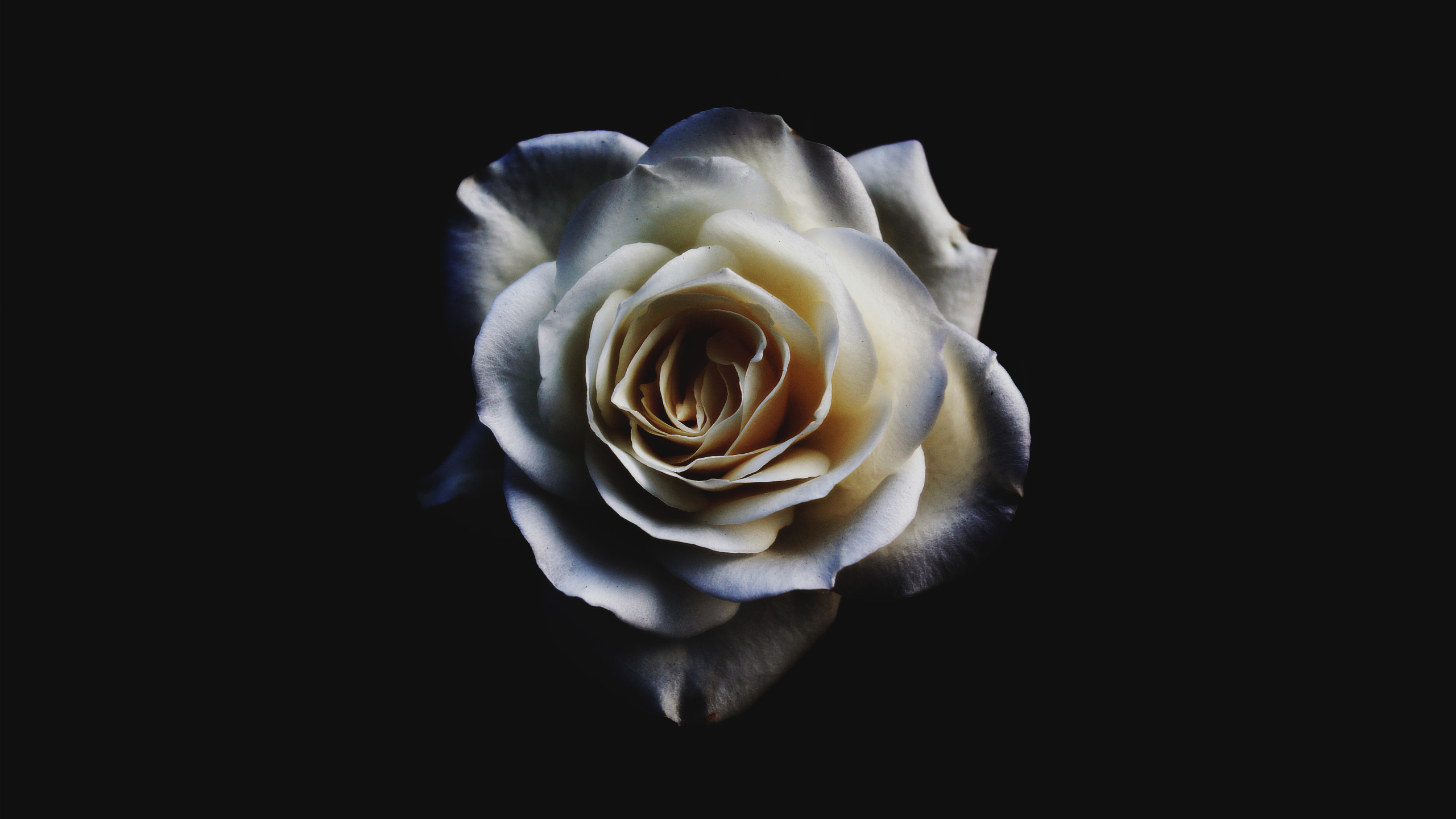 White Rose Wallpapers
